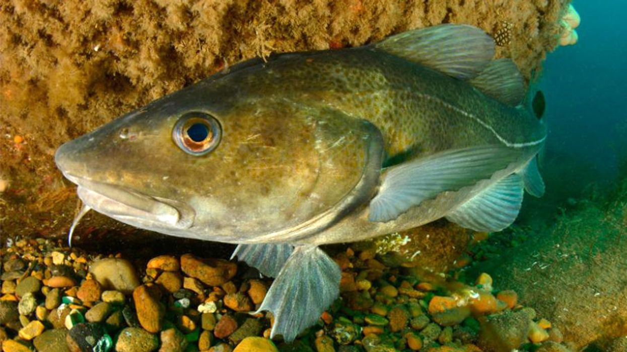 Old, Fat Fish Have the Most Offspring, Sustainability Study Finds