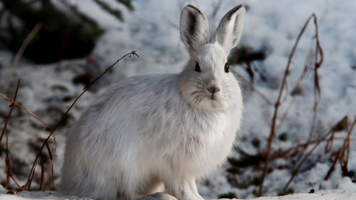 Toxic Leftovers From Giant Mine Found in Snowshoe Hares