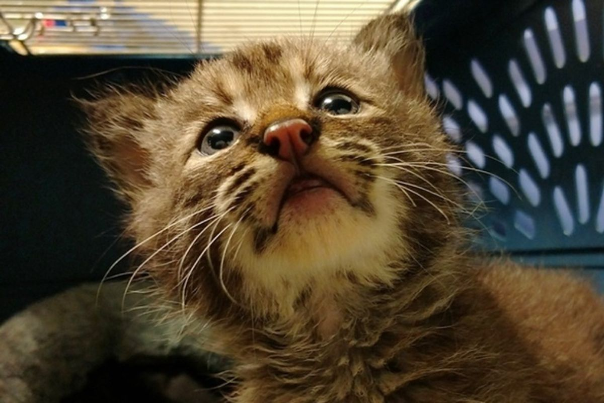Man Saves Stray Kitten Then Realizes She Isn't What She Seems
