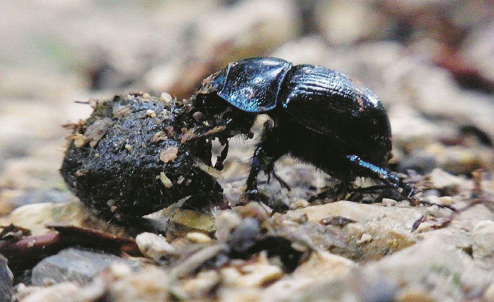 Gli insetti da spiaggia a rischio estinzione