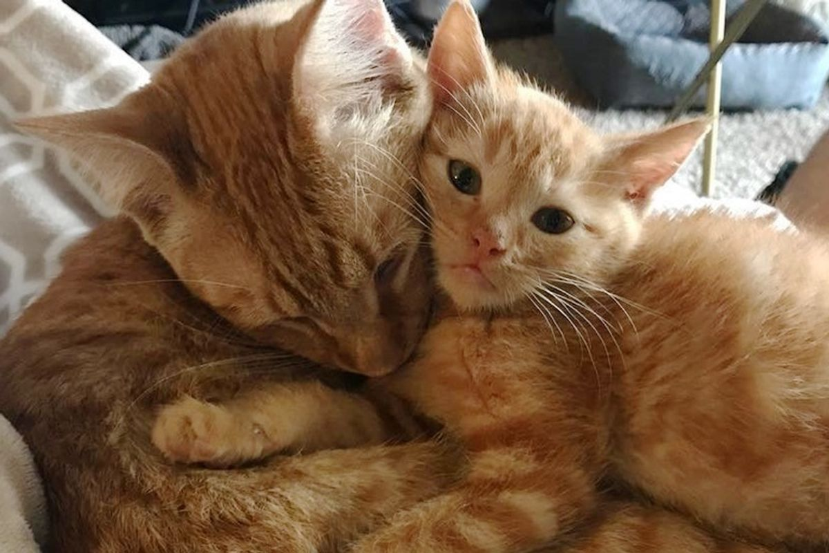 4 Kittens Needed Love, a Male Cat Stepped Up to Be Their Surrogate Dad