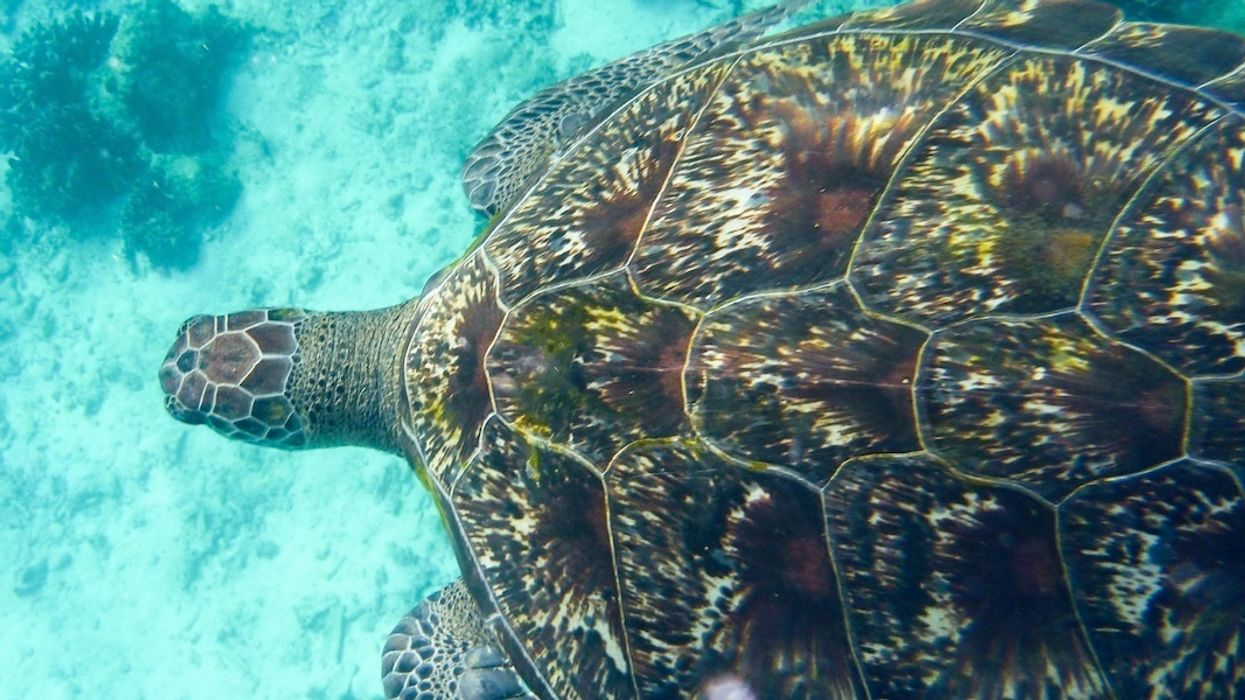 Plastic Shreds, Rubber Bands and Balloon Pieces Found in Thai Turtle