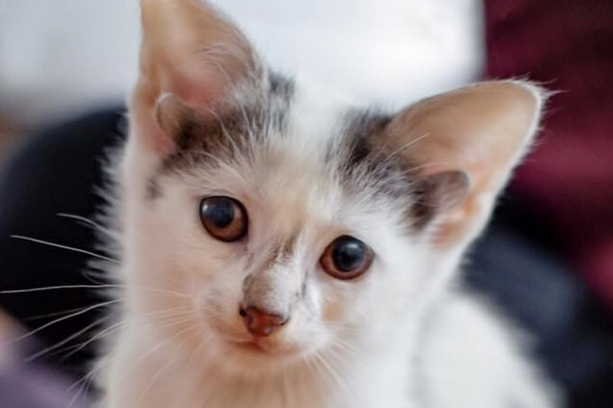 Kitten With 2 Extra Ears Born in Shelter the Same Day They Rescued His Mom