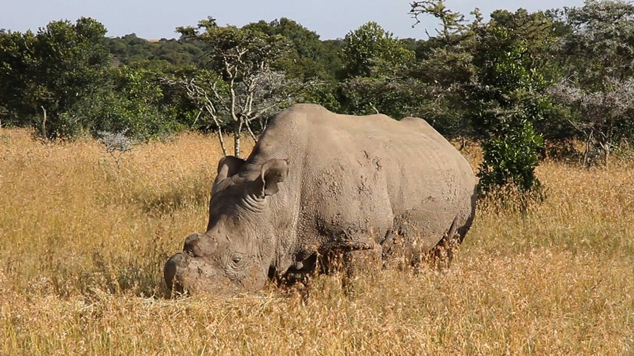 Scientists Grow First Test-Tube Rhino Embryo in Bid to Save Northern White Rhinos from Extinction