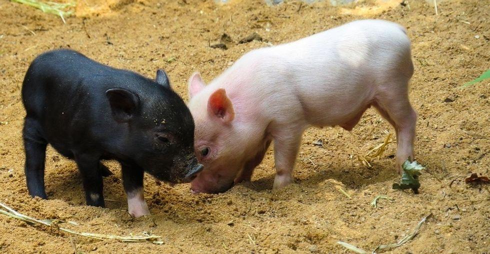 https://pixabay.com/en/animal-pig-piglet-pink-curly-tail-2530930/