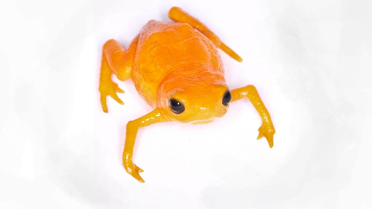 Global Frog Pandemic May Become Even Deadlier as Strains Combine
