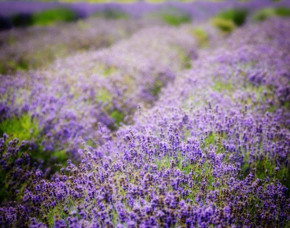 lavender by the bay farm north fork long island