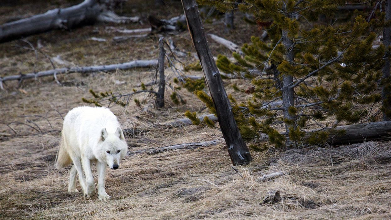 Wyoming Expands Controversial Wolf Hunting Season