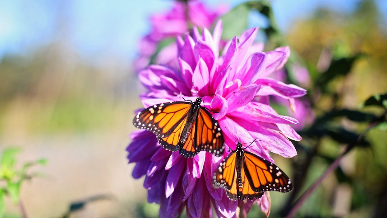 Monarchs Use Milkweed as Preventive Medicine—but Climate Change May Wreck the Pharmacy