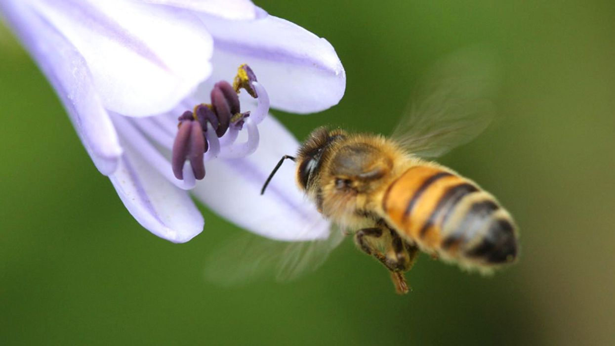 Low Doses of Pesticides Make It Harder for Bees to Find Flowers