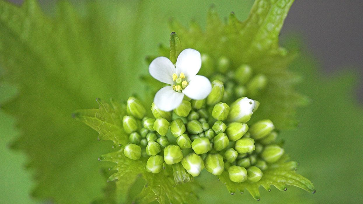 10 Edible Weeds Likely Growing in Your Yard