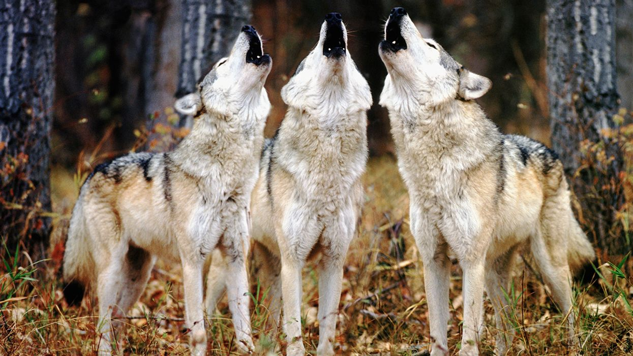 Scientist at Work: Identifying Individual Gray Wolves by Their Howls