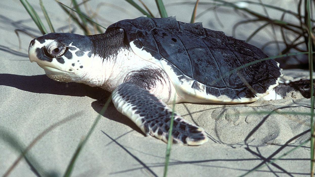World's Most Endangered Sea Turtle Found Strangled by Beach Chair
