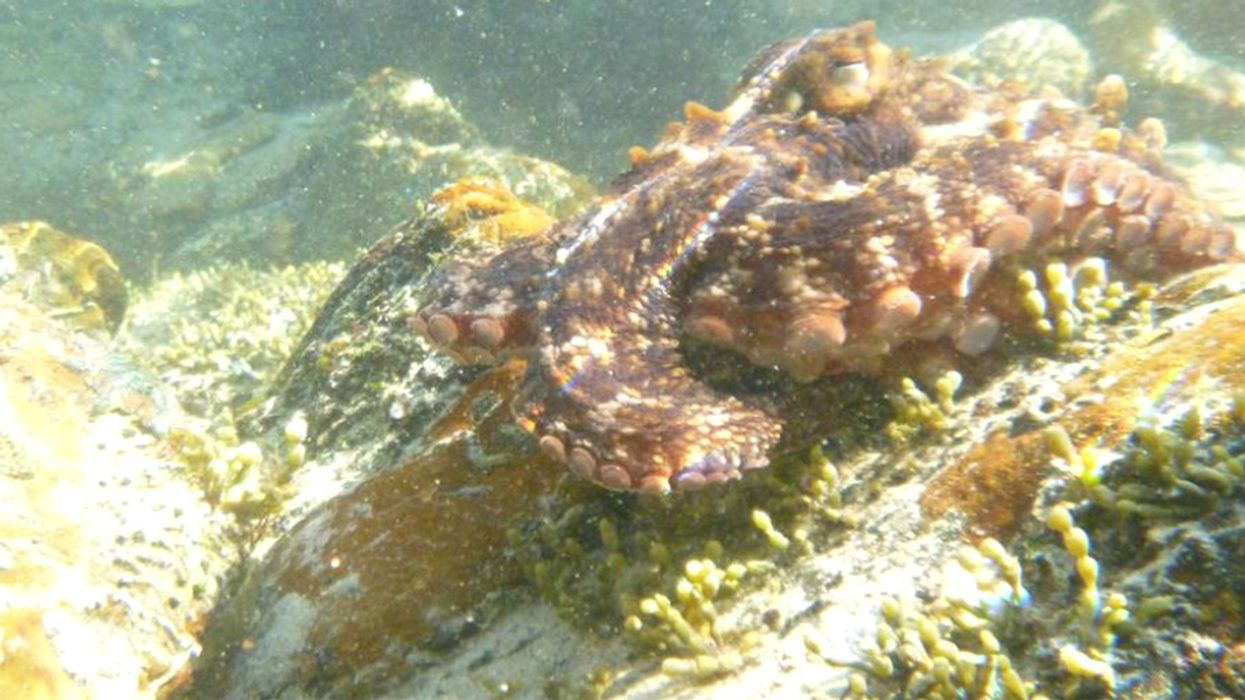 Australian 'Gloomy Octopus' Leads Murky Wave of Climate Change Invasions