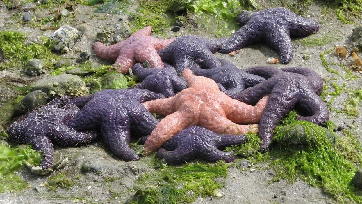 Starfish Make Comeback After Mysterious Melting Disease