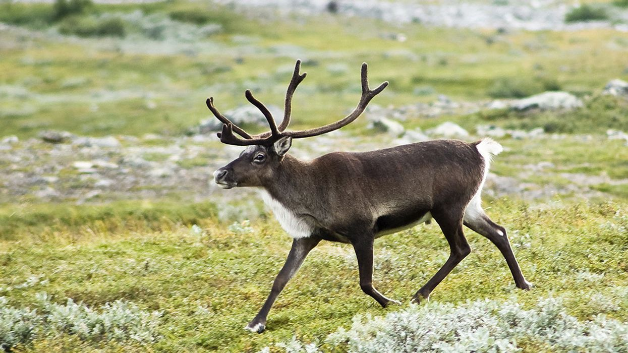 Caribou Science Denial Cripples Conservation Efforts