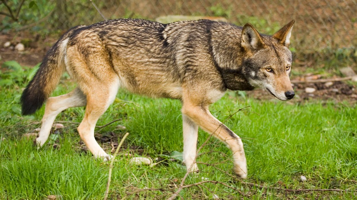 FWS Proposal 'Dooms' Wild Population of Endangered Red Wolves