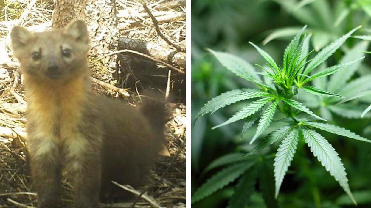 Adorable and Feisty Humboldt Marten Faces Extinction From Pot Cultivation, Climate Change
