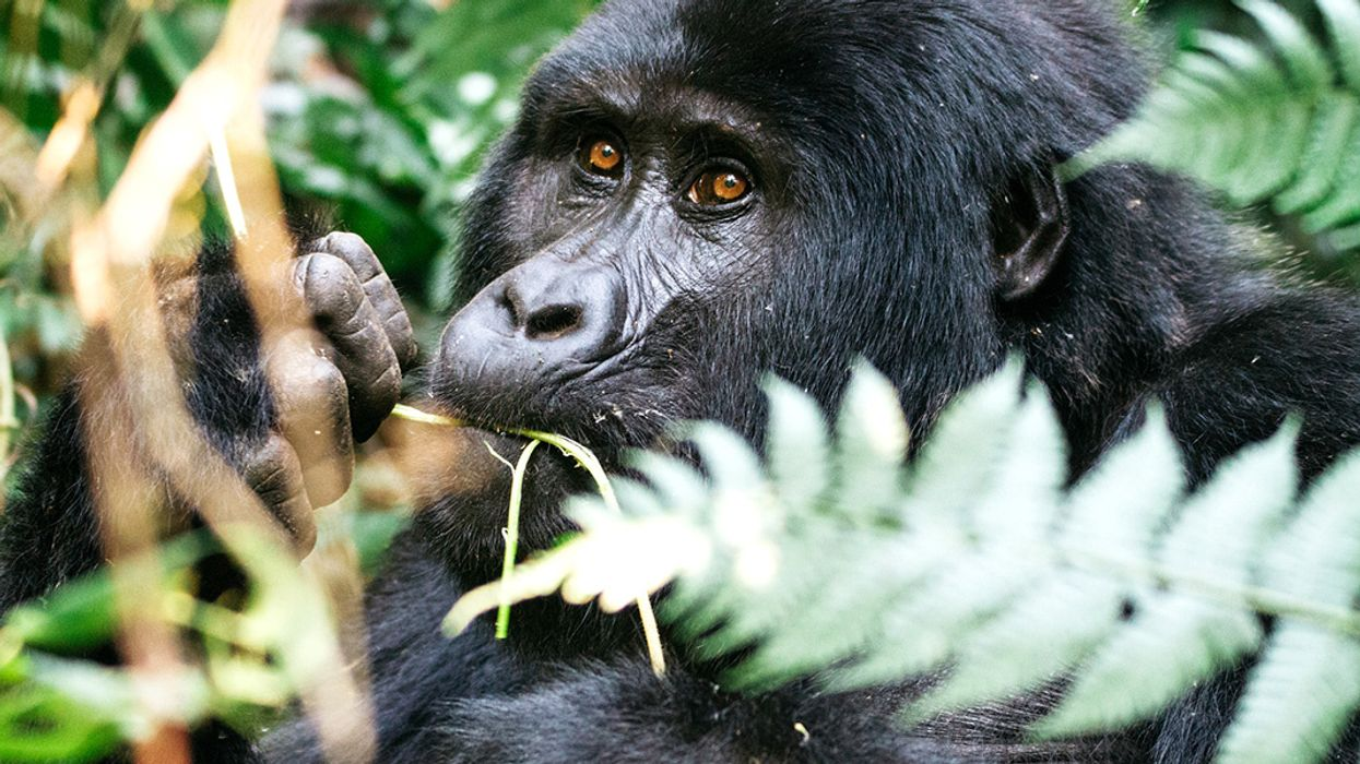 Against All Odds, Mountain Gorilla Numbers Are on the Rise