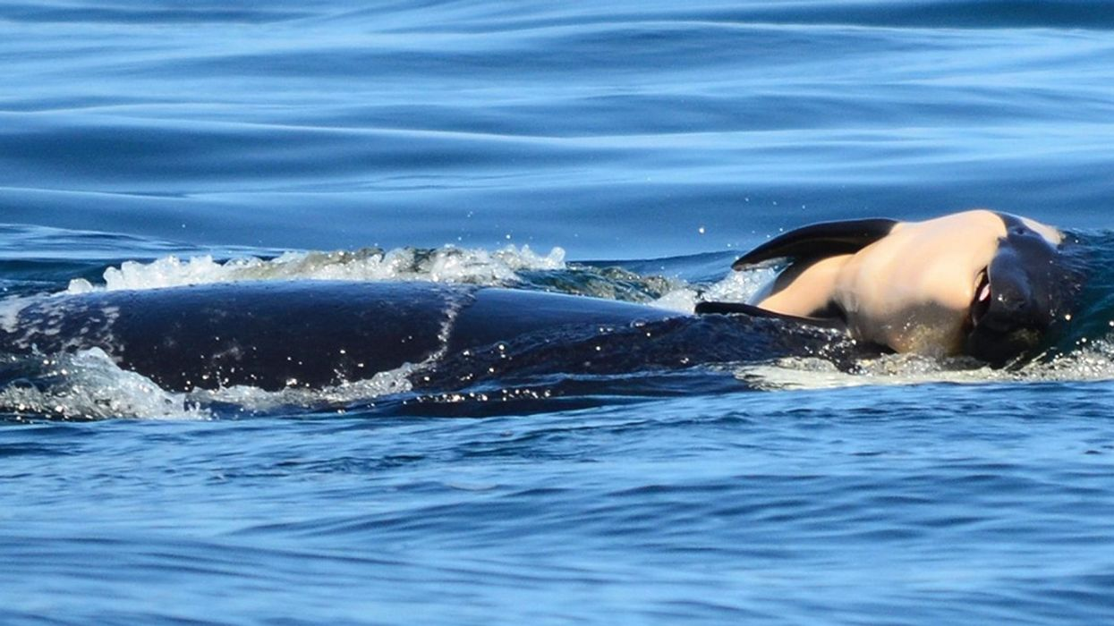 Grieving Orca Mother Carries Dead Calf for 'Heartbreaking' 8th Day