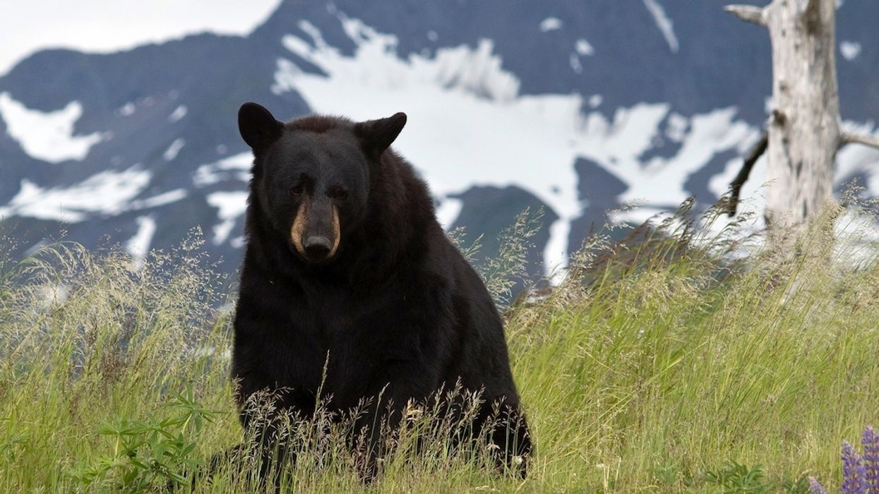Father and Son Charged With Killing Mother Bear and 'Shrieking' Cubs in Den