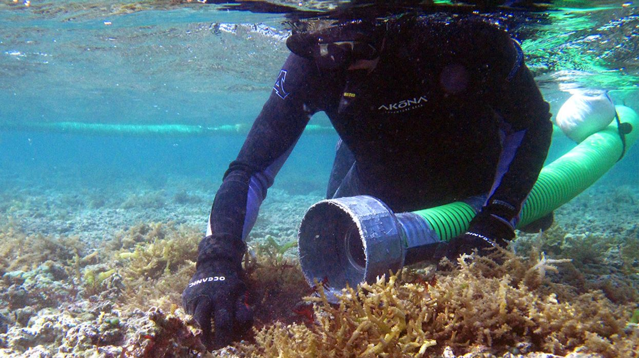 Researchers Use Technology and Nature to Save Hawaii's Coral Reefs From Invasive Algae
