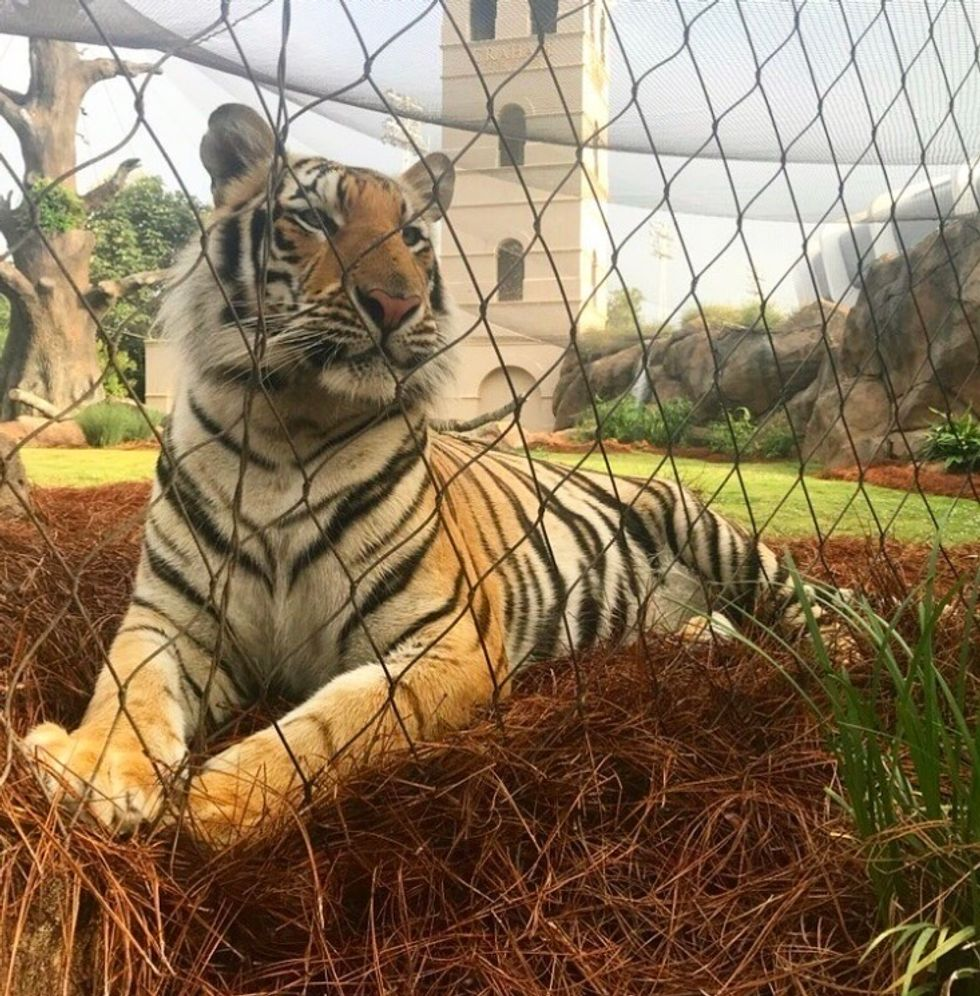 lsu mike the tiger