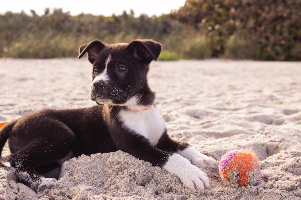 Dog on the beach, next to ball
