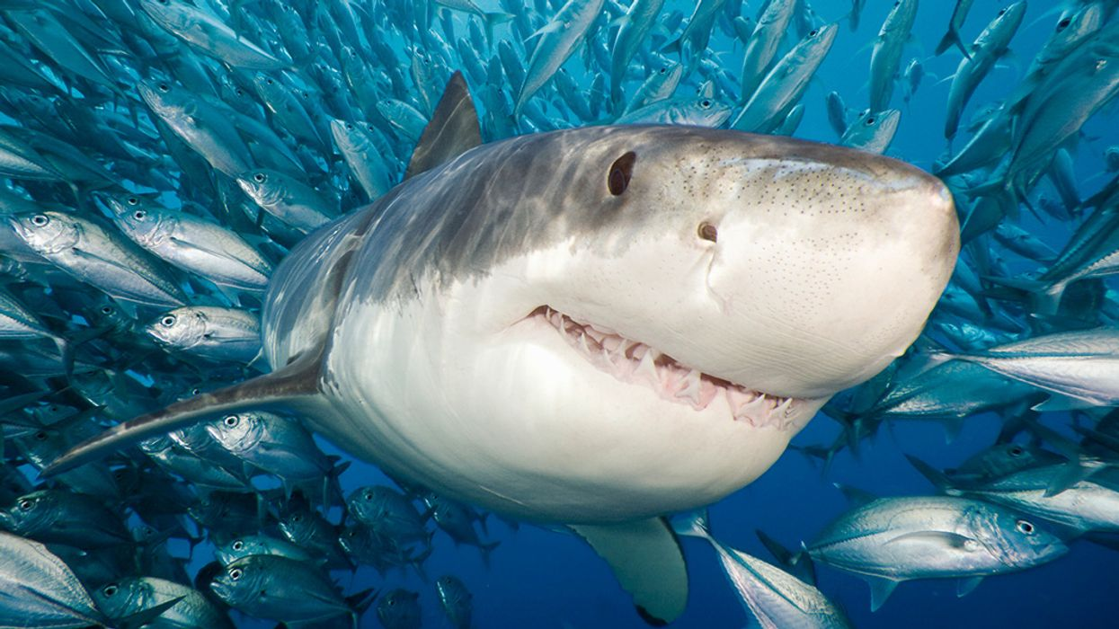 Shark Week 2018: Interactive Map Shows How Commercial Fishing Threatens Sharks