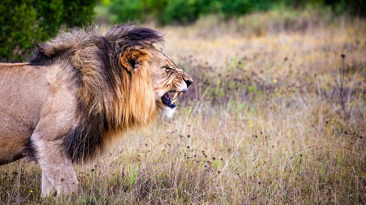 Trump Admin. Quietly Awards Dozens of Lion Trophy Permits to Hunters, GOP Donors