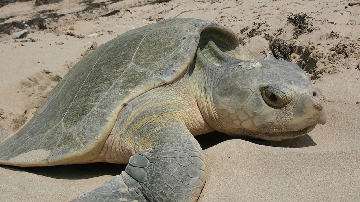 Nearly 300 Sea Turtles Dead as Red Tide Plagues Southwest Florida