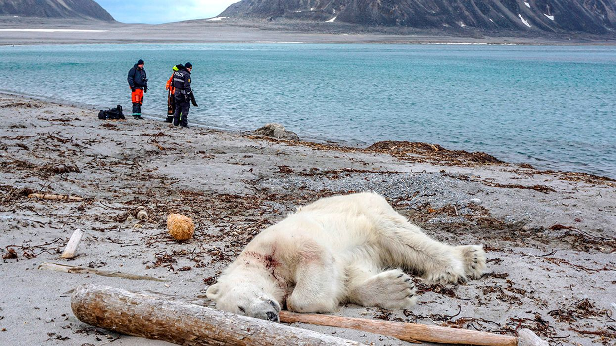 Polar Bear Shot Dead After Attacking Cruise Ship Guard, Raising Questions of Arctic Tourism