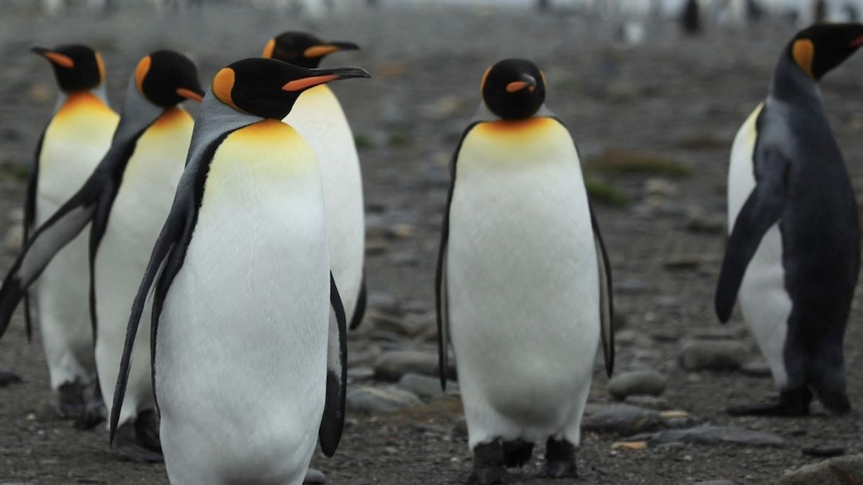 World's Largest King Penguin Colony Shrunk 90% in Last Three Decades