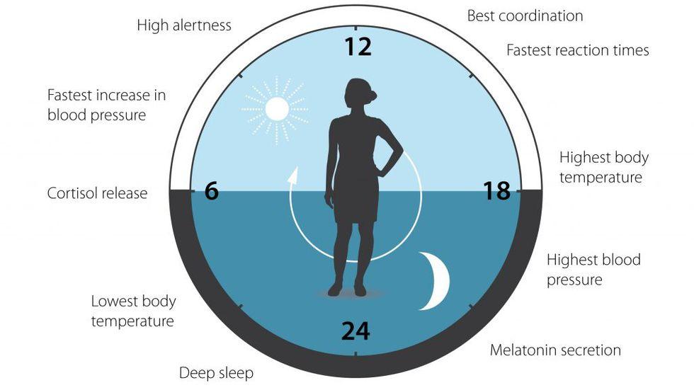 The circadian clock.