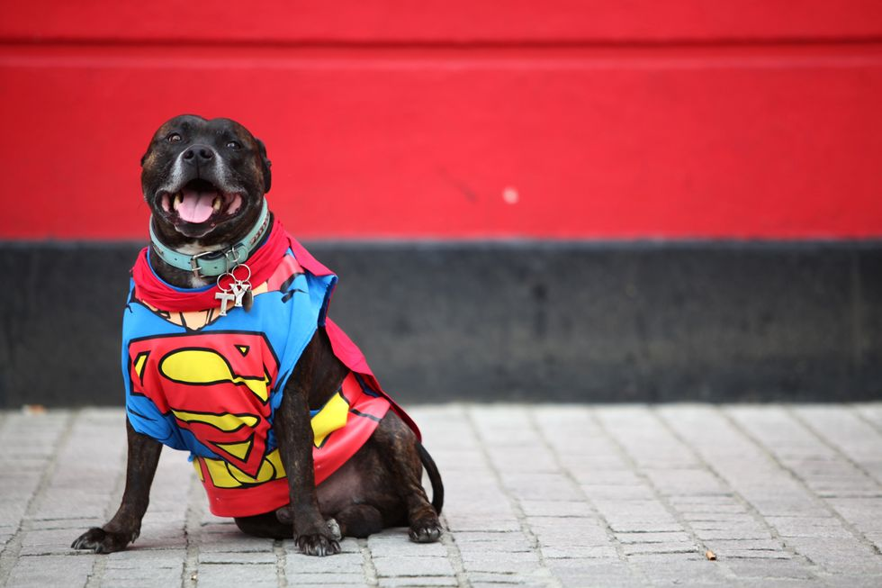 Dog in a Superman costume.