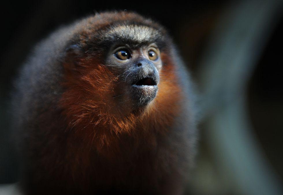 Titi monkey.