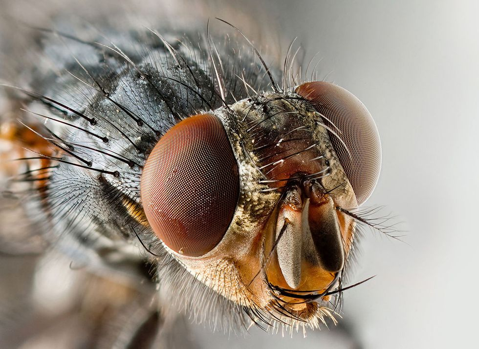 A fruit fly cllose up.