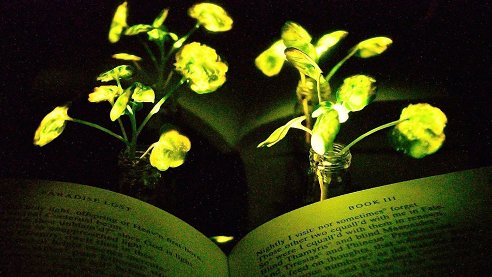 Two nanobionic light-emitting watercress plants shine onto 'Paradise Lost'. Reflective paper was used to increase the glow in this image.
