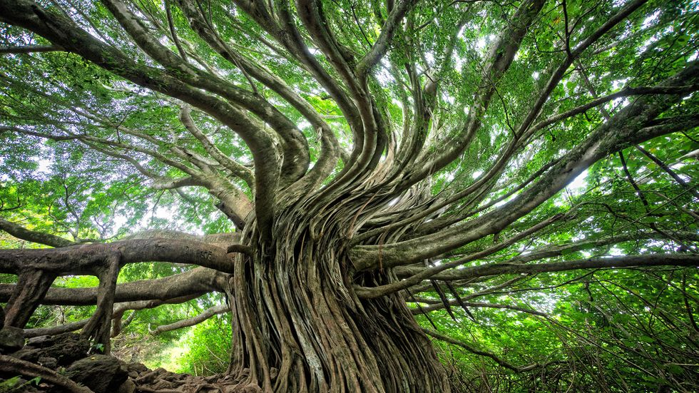 Swirling branches of a tree.