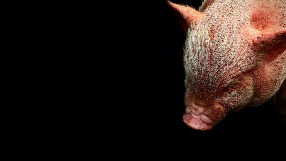 Zombie pig. (Photo: Pexels–Commons)