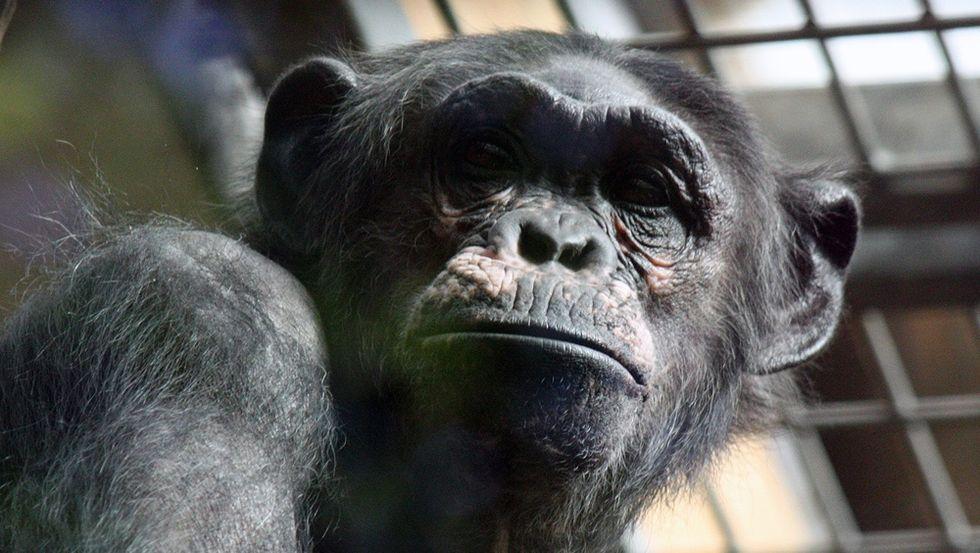 Chimpanzee at Antwerp Zoo (Photo: Hans De Bisschop)