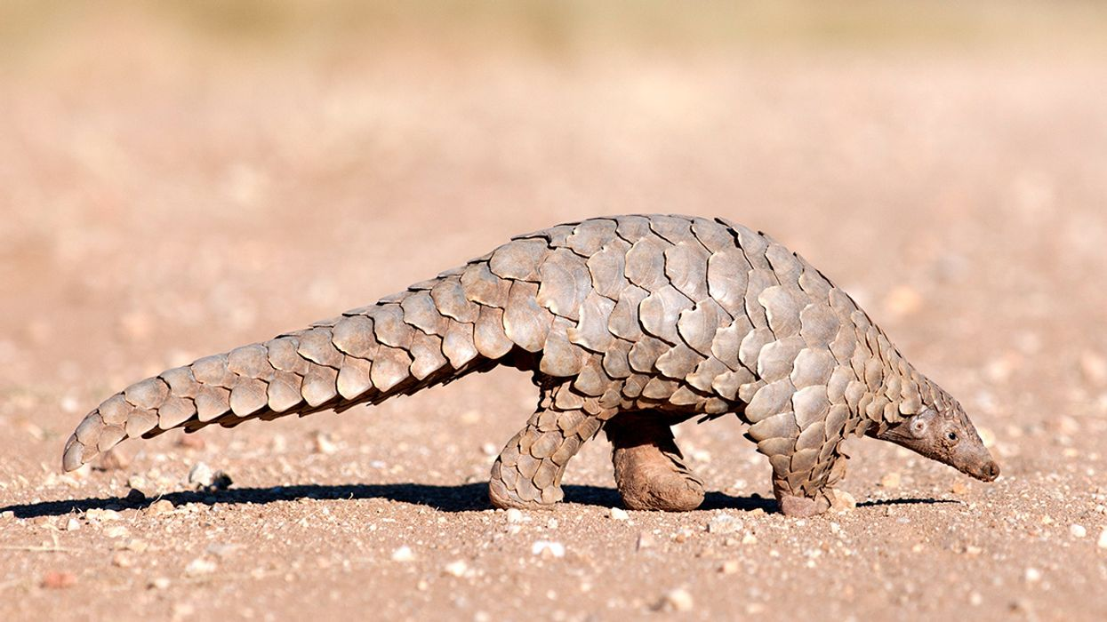 World's Most Trafficked Mammal Lost More Than Half Its Range in Eastern China
