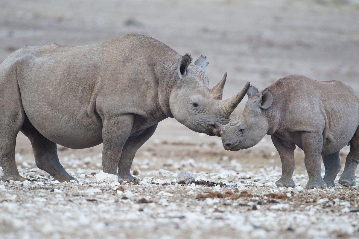 La seconda vita del rinoceronte bianco? Merito della maternità surrogata