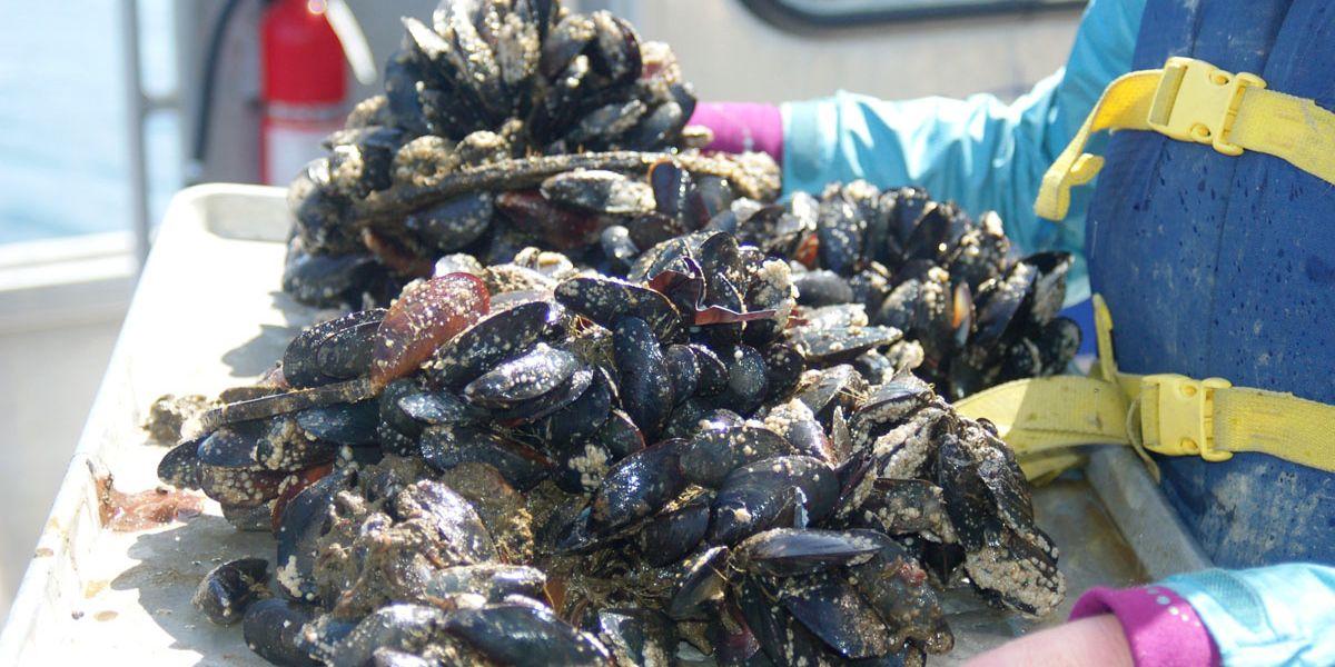 Mussels lose footing in more acidic ocean