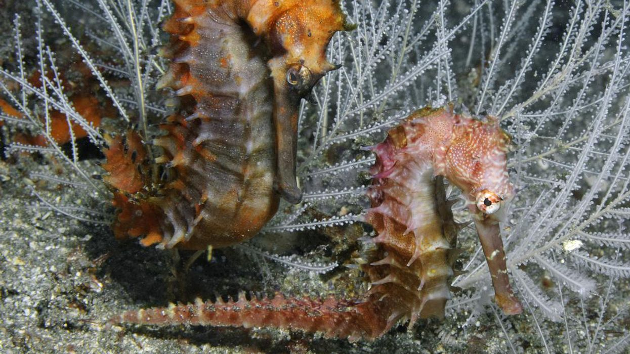 Millions of Seahorses Wind Up Dead on the Black Market for This Senseless Reason