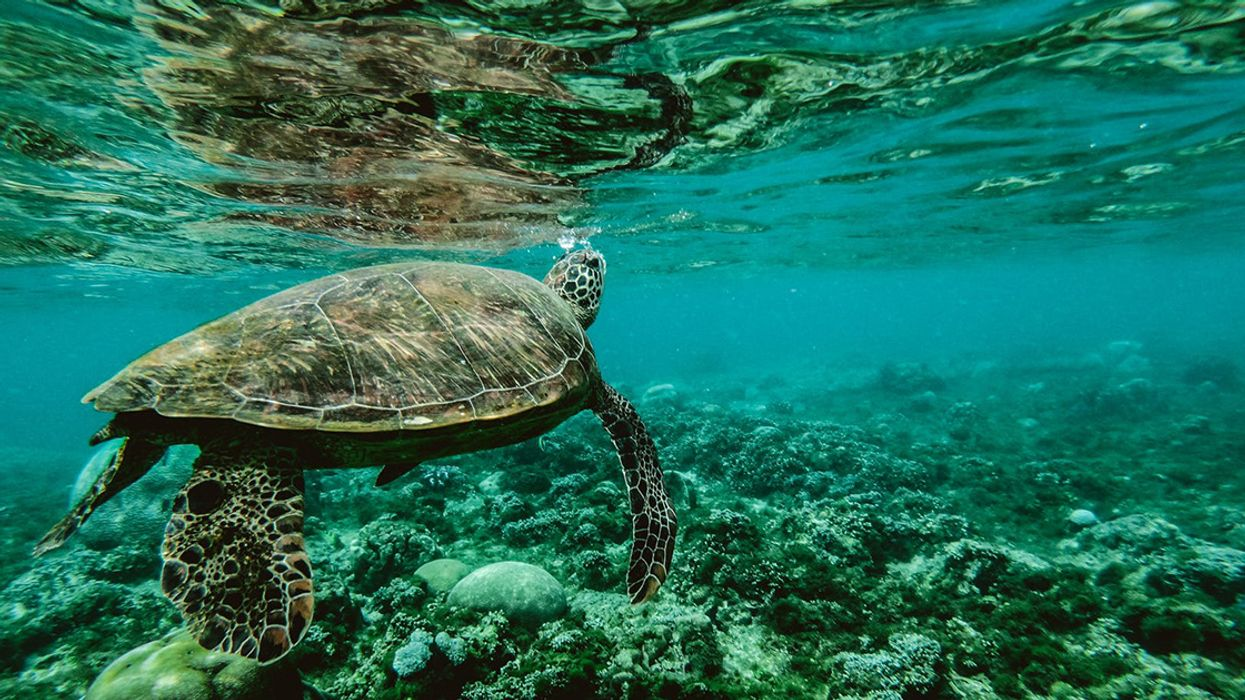 Just How Bad Was Hawaii's Volcanic Eruption for Sea Turtles?