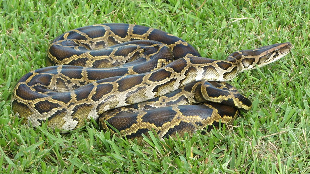 Surprise Python Hybrid Could Pose Greater Threat to Everglades Wildlife