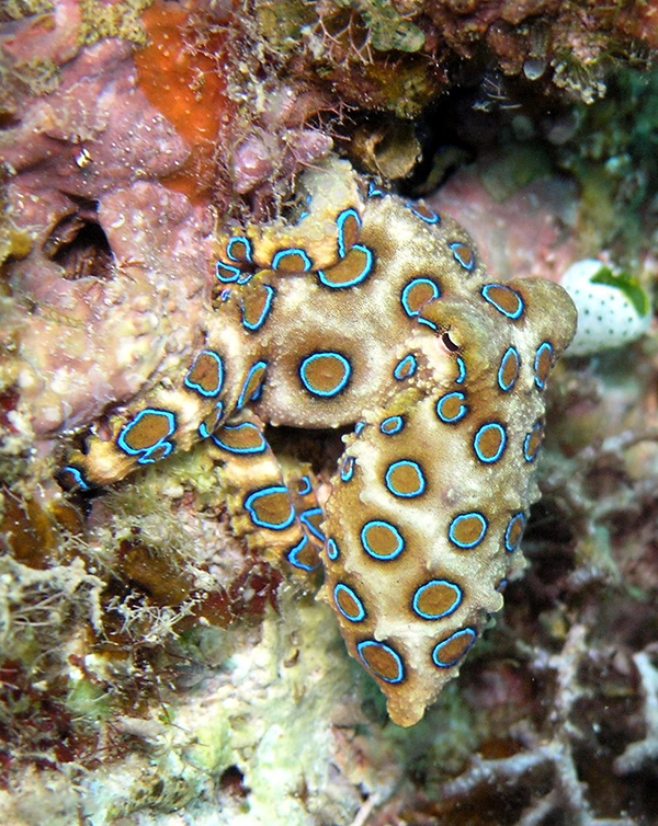 blue-ringed octopus eggs