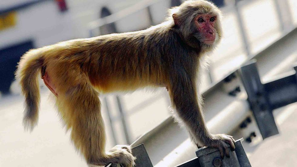 A rhesus macaque stands by a busy road in the New Territories of Hong Kong. (PETER PARKS/AFP/Getty Images)