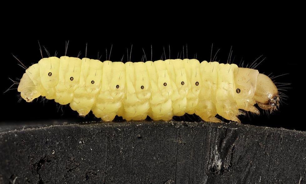 wax worm caterpillar